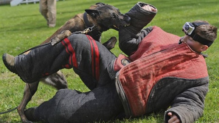 Man in a protective suit being bitten on the arm by a military attack dog