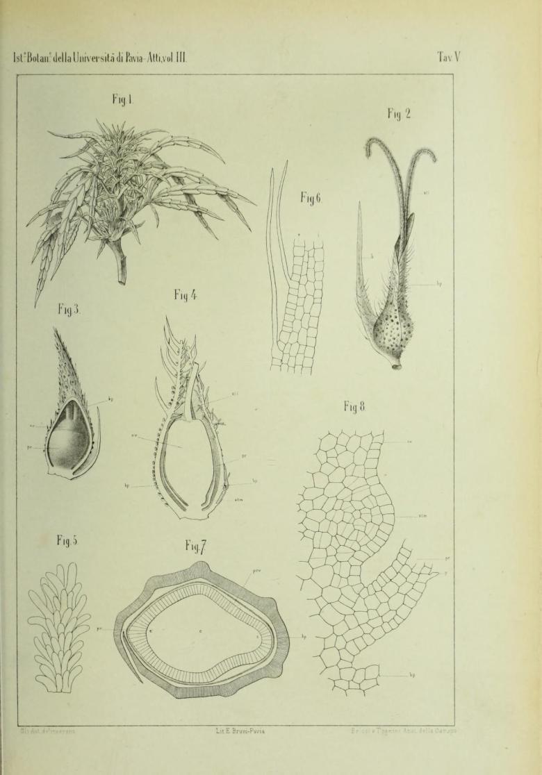 Around the hemp anatomy, 1894 – The Canna Chronicles