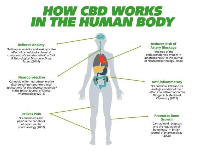 CBD inside the human body.