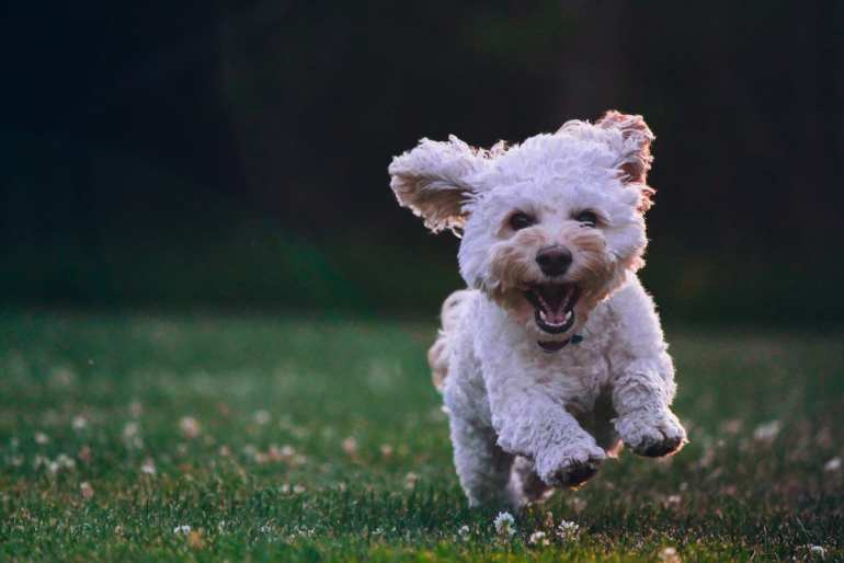 dog running in the grass. He has a smile and looks happy. Giving CBD to your pets.