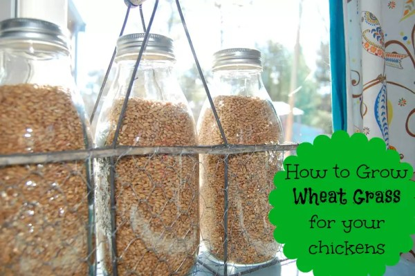 Grow wheat grass indoors so your flock can have fresh greens year round!