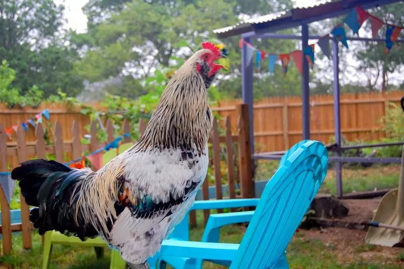 The Rooster Question