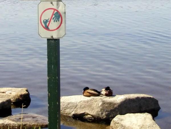 Feeding your Duck