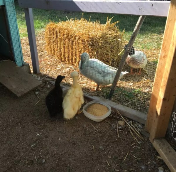 Adding Ducklings to your Flock
