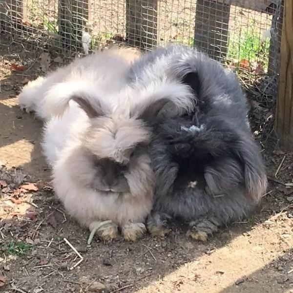 Feeding your Angora Rabbits