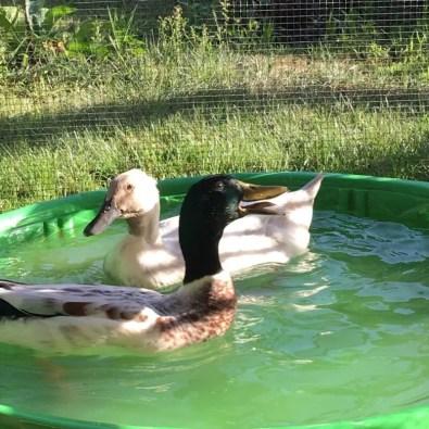 Should you get ducks?
