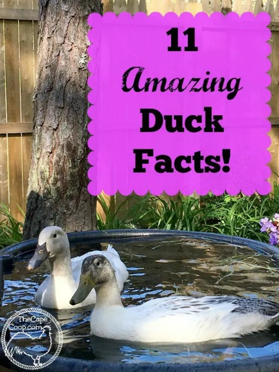 11 Amazing Duck Facts! - The Cape Coop