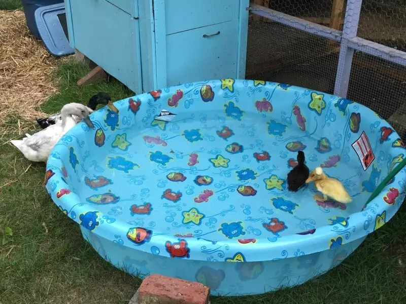 do ducks need a pond duck pond ideas the cape coop