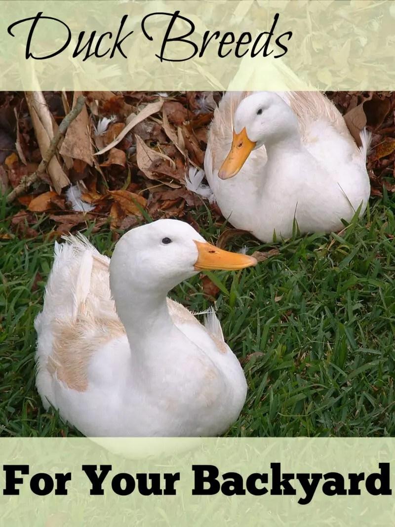 great backyard duck breeds the cape coop
