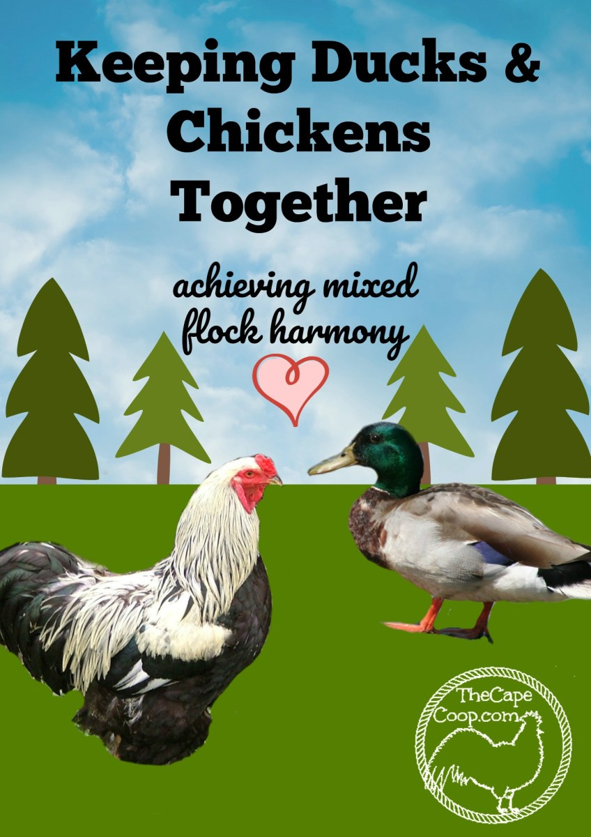 Raising Chickens & Ducks Together