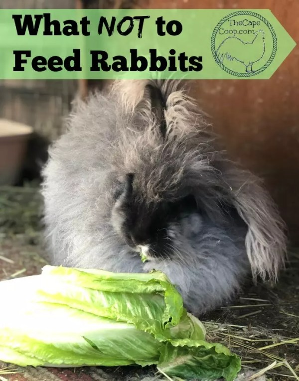What Not To Feed Rabbits The Cape Coop