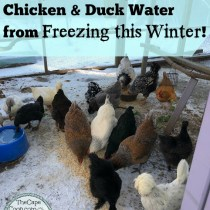 6 Ways to Keep Chicken & Duck Water from Freezing this Winter