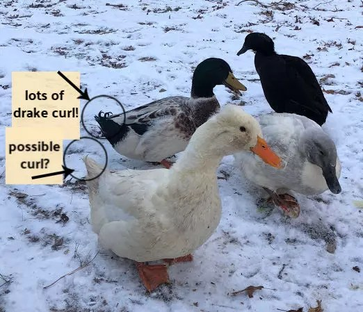 Angelica the Bi Gender Duck - can a bird switch from female to male?