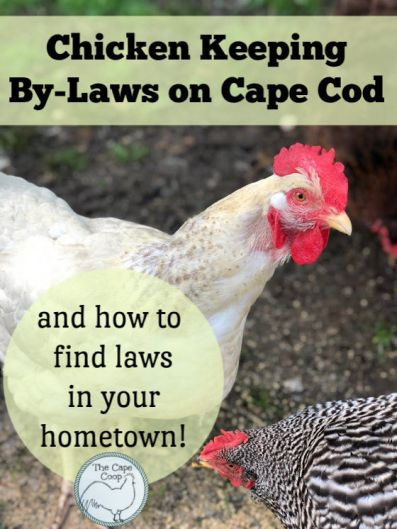Chicken Keeping By-Laws on Cape Cod & how to find laws in your hometown