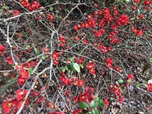garden-quince