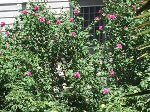 garden-rose-of-sharon