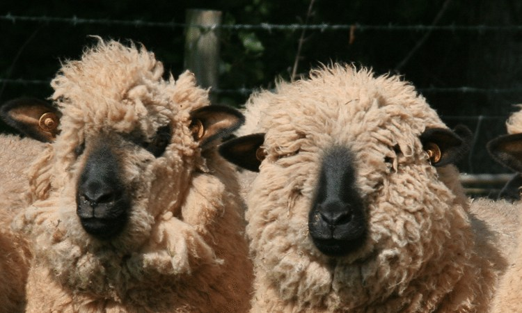 Four wooly sheep from Stream Farm