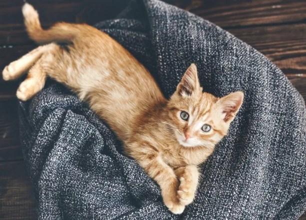 Ginger kitten on a soft gray blanket