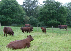 Photo courtesy of Waverley Herd, Waverley Herd of Sussex Cattle