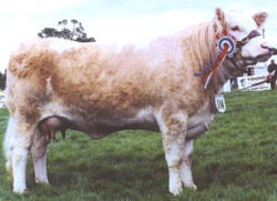 Photo courtesy of Drumsleed Simmentals, www.drumsleedsimmentals.co.uk