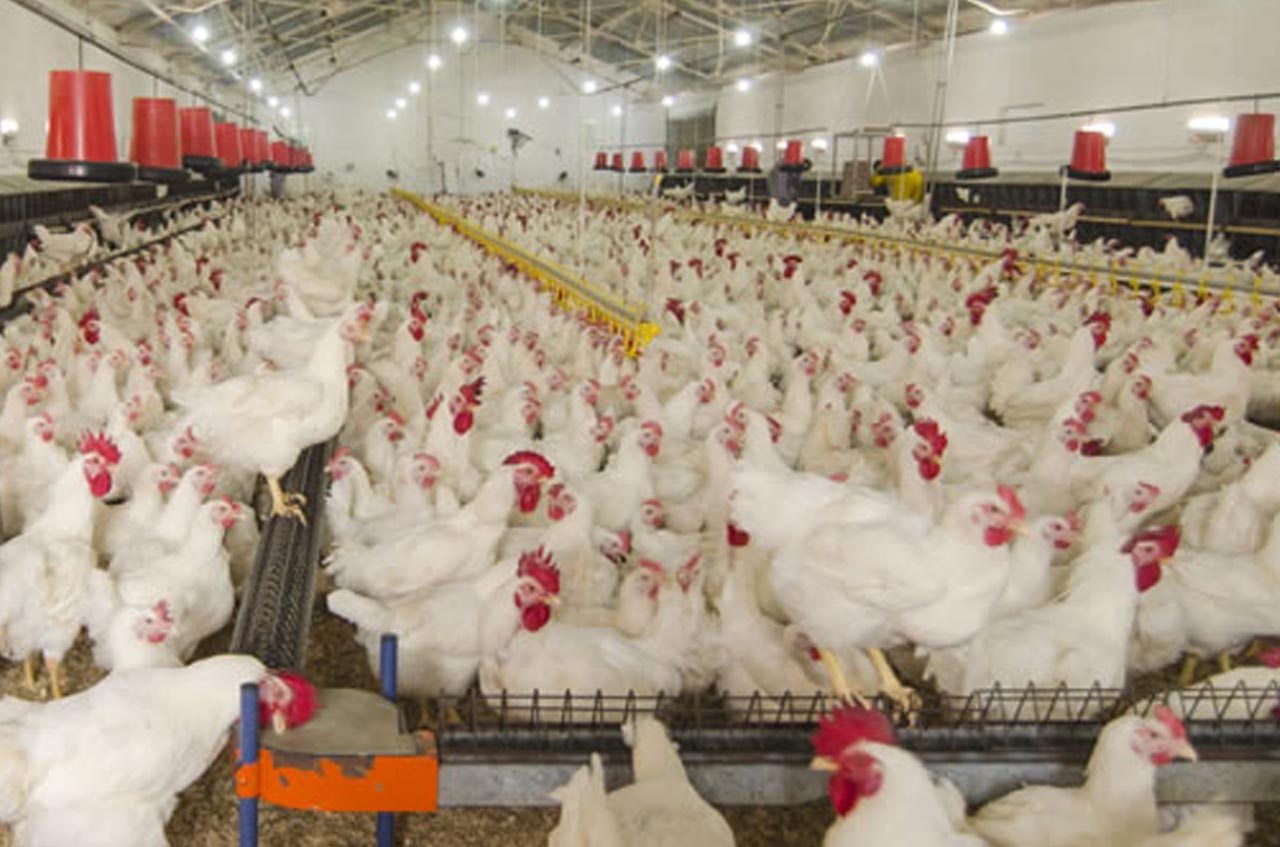 poultry farming business is