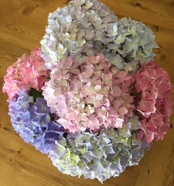 hydrangea flower information