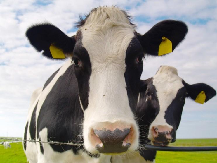 Pasture Raised Cowsa