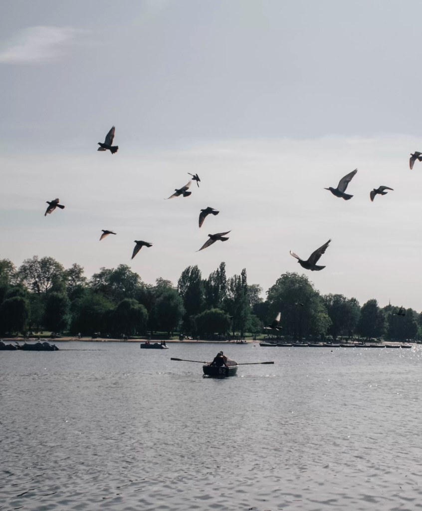 A flock of birds taking off over a couple rowing a row boat over the Serpentine in Hyde Park