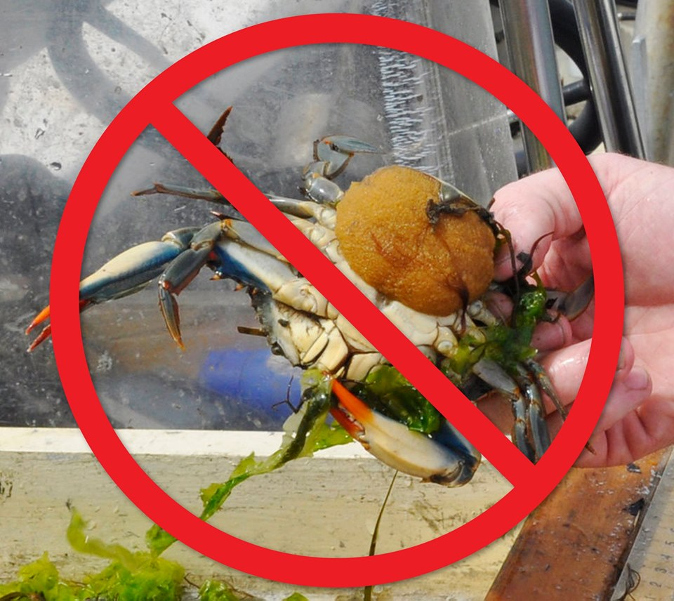 OUTLAW POACHERS OF THE CHESAPEAKE: Lotte Plaza Market Cited for Selling Egg-Bearing Female Crabs