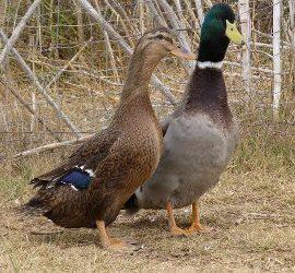 Black Runner Duck