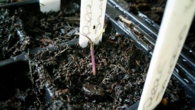 Purple Jalapeno Seedling