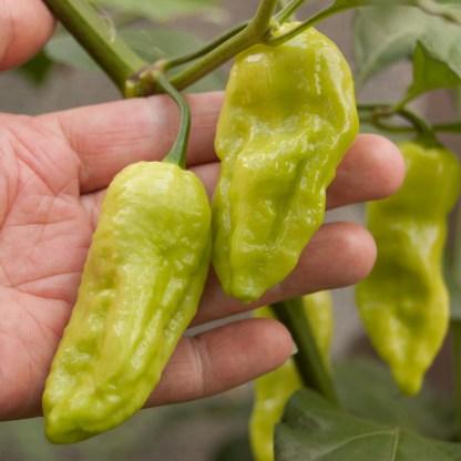 chilli seeds sown Bengle naga chillies