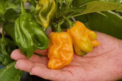 Trinidad Moruga Scorpion Fresh Chillies from The Chilli Guy © 2020 TheChilliGuy