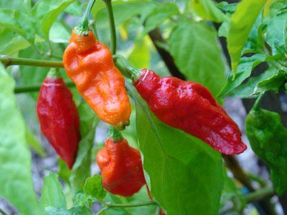 The Chilli Guy Ghost Pepper Chilli Pods