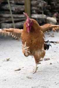 rooster-dance