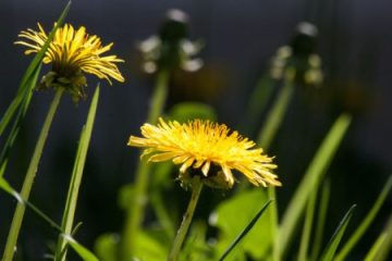 The incredible, Edible Dandelion