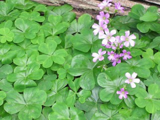 Cooking With Wood Sorrel
