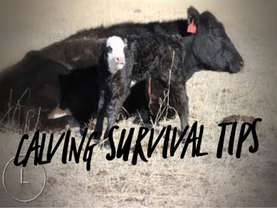 Calving Survival Tips