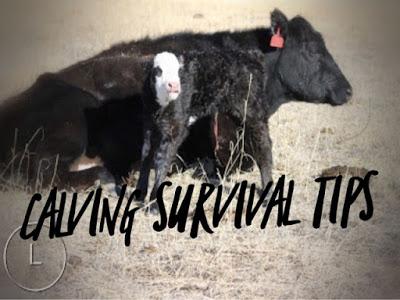 Calving Season Survival Tips