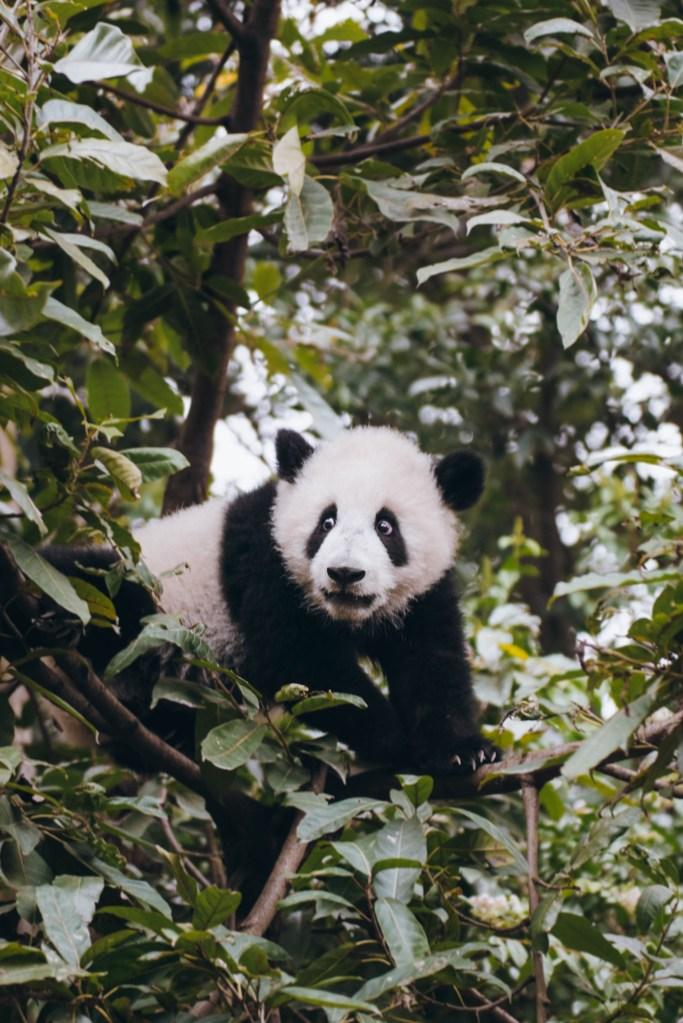 visit Chengdu China; panda research base