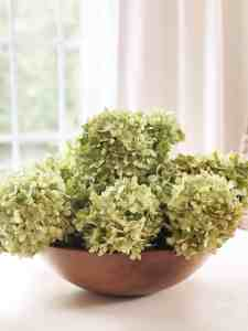 Limelight Hydrangea 9