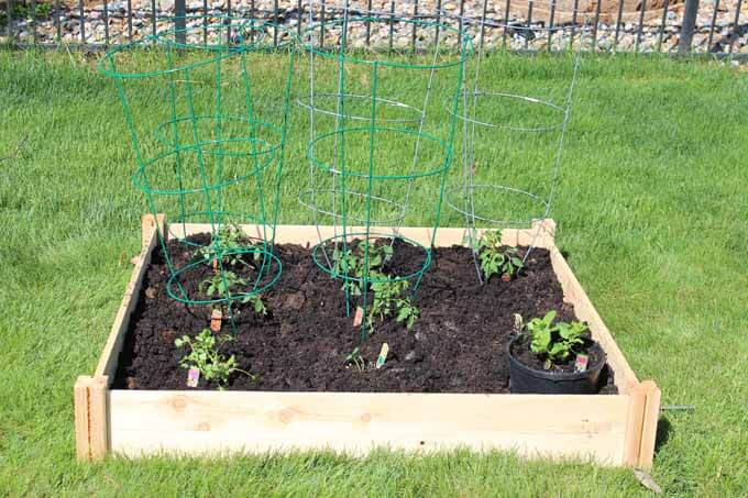 Love Our Real Life Tips for Growing Tomatoes
