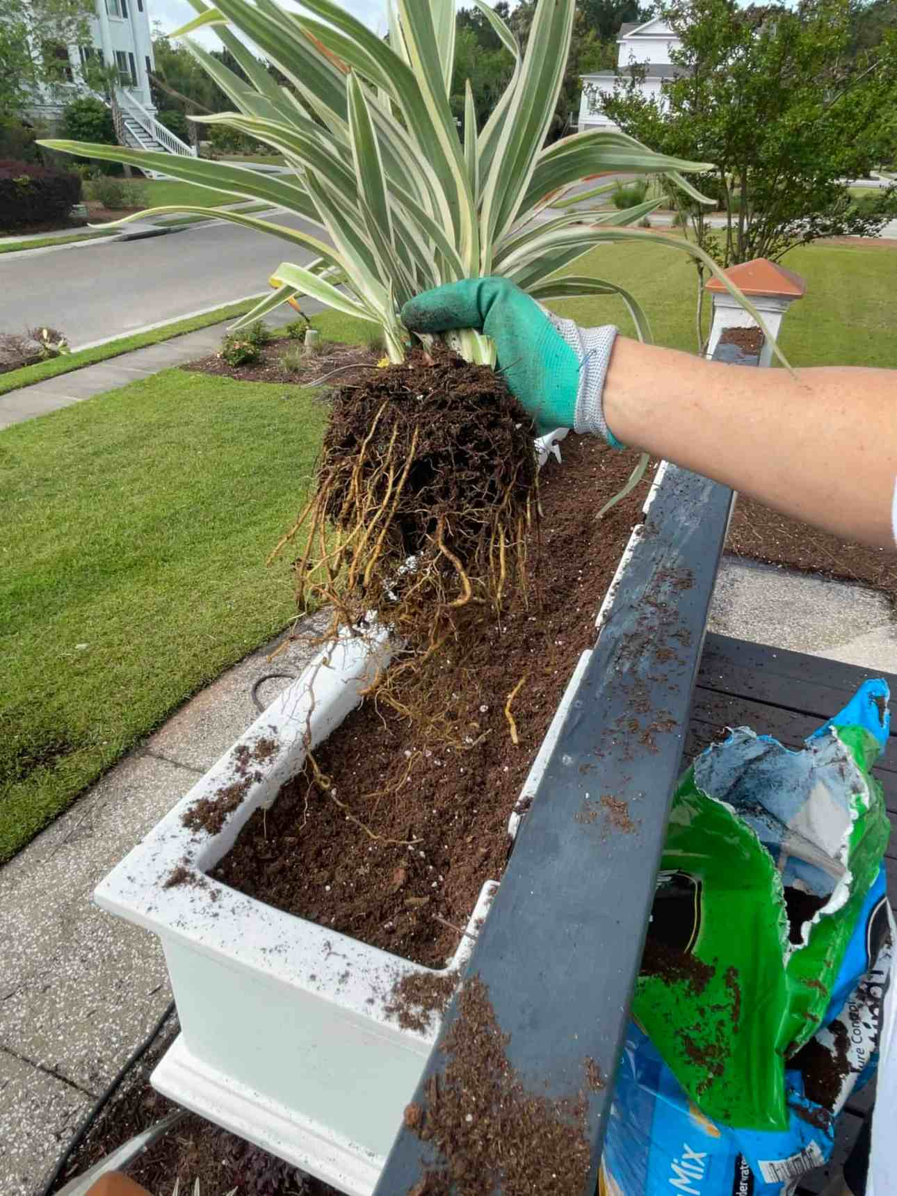 Breaking up the roots in window boxes
