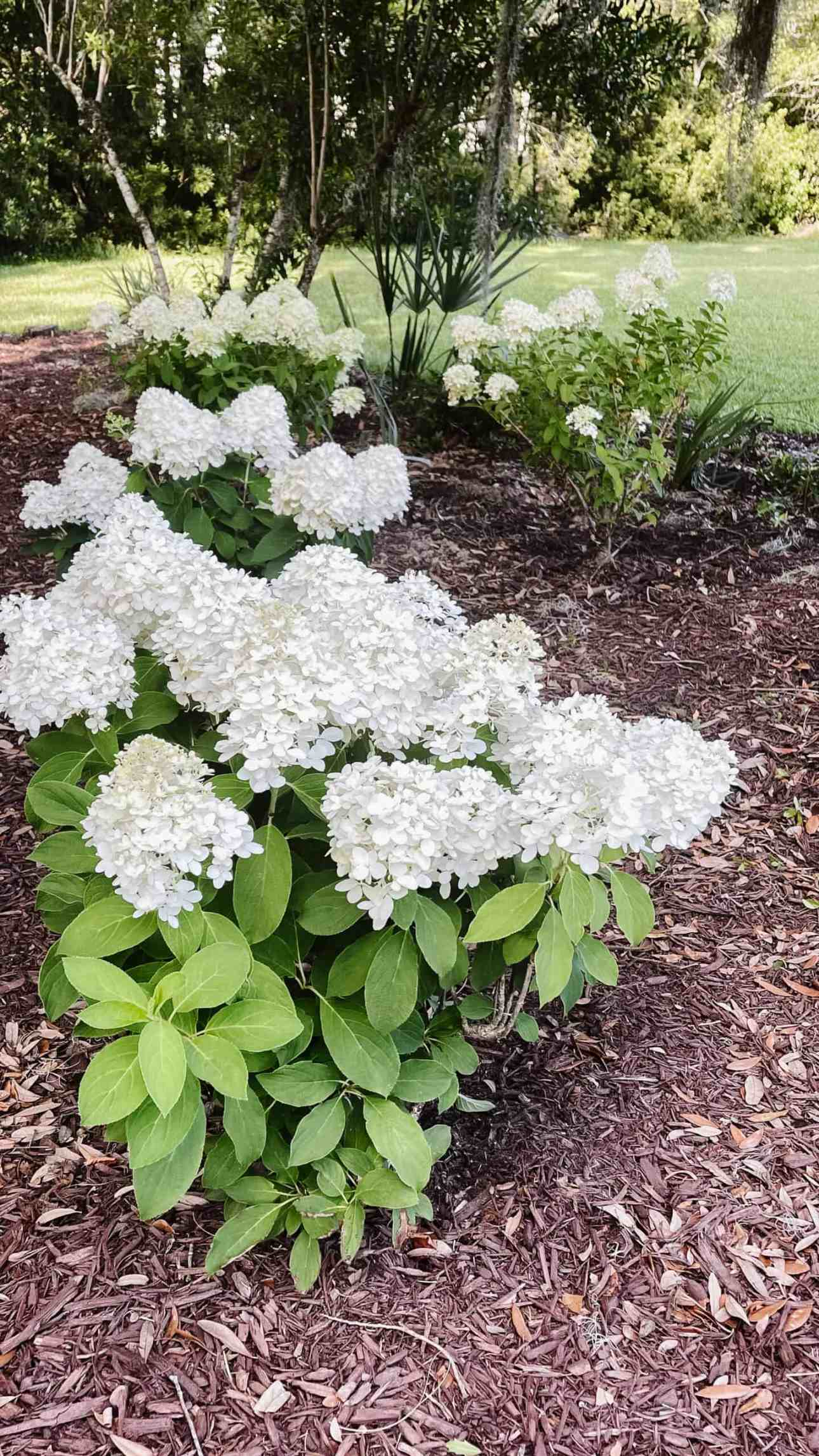 Sun loving hydrangeas, the panicle white wedding hydrangea from Southern Living Plant Collection.