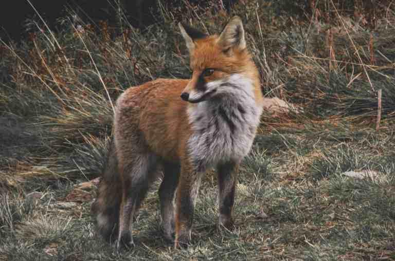 Fox Eat Chrome