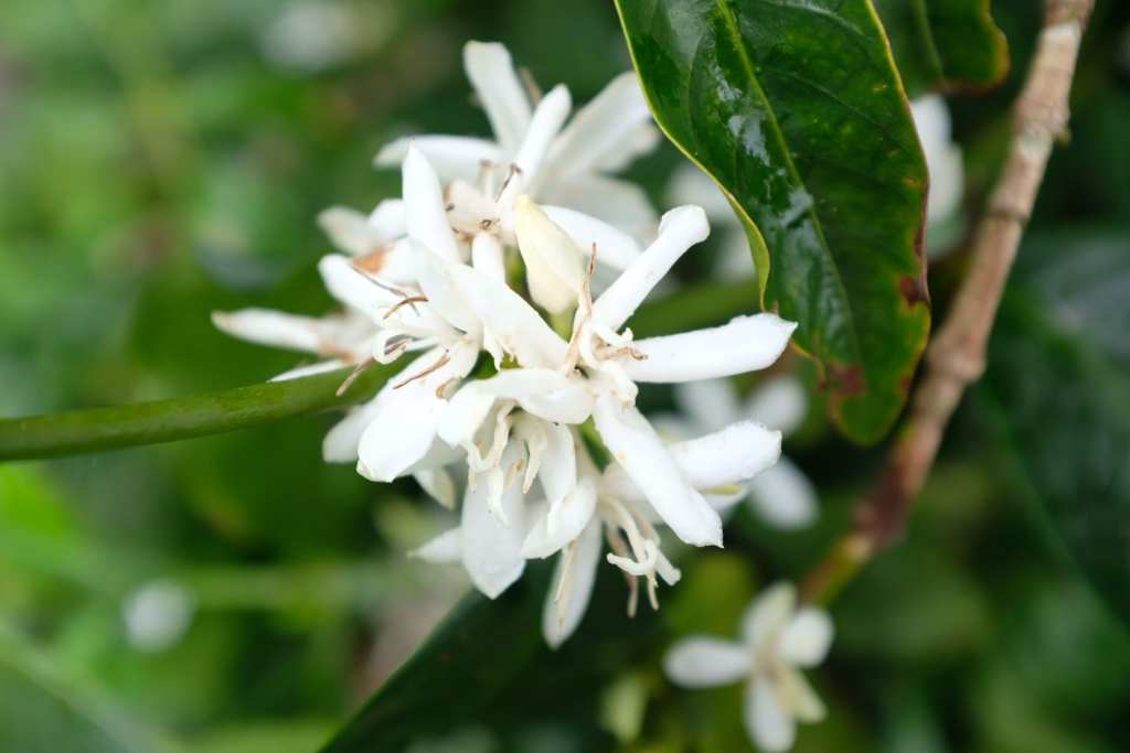 Geisha coffee flowers