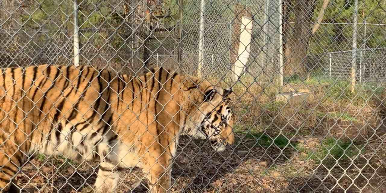 Tigers in North Carolina! | The Common Traveler