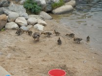 Feeding the Duckies