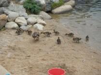 Feeding the Duckies