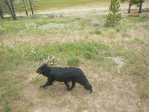 Rescue Dog on the Wagon ride in Keystone Colorado